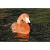Lundi Flamingo Premium