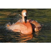 Lundi Cantazoo Flamingofarbe